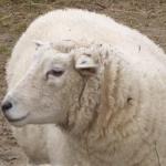 Schaf-einzeln